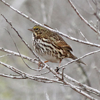 Savannah (Belding's) Sparrow