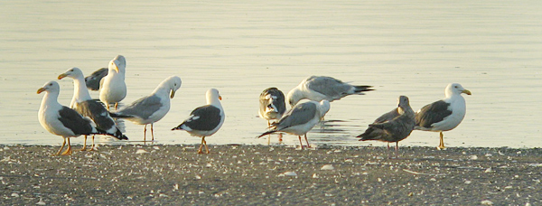 Yellow-footed and American Herring Gulls