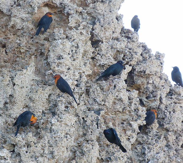 Yellow-headed and Brewer's Blackbirds