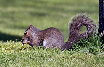 Eastern Gray Squirrel – gray form