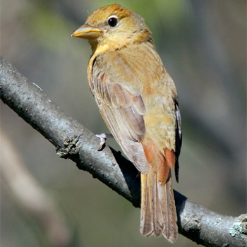 Summer Tanager(female)
