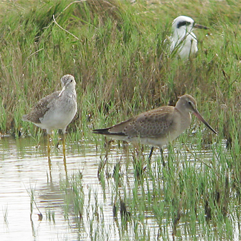 Greater Yellowlegs and Hudsonian Godwit (Forster's Tern in background)