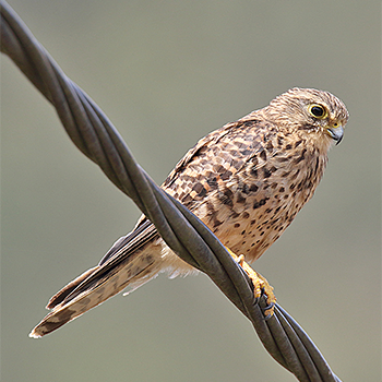 Eurasian (Neglected) Kestrel