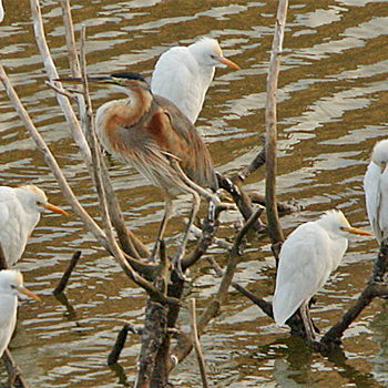 Purple (Bourne's) Heron and Cattle Egrets