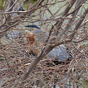 Purple Heron (<em>bournei</em>)