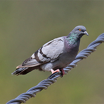 Rock Pigeon (<em>atlantis</em>)