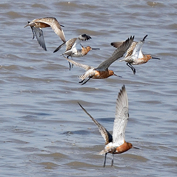 Asian Dowitchers and Black-tailed Godwits