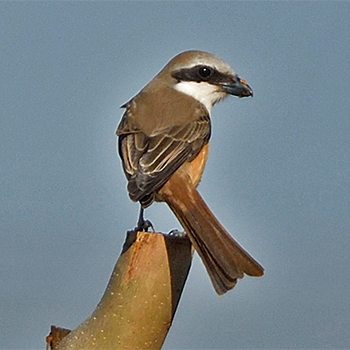 Brown Shrike (<em>lucionensis</em>)