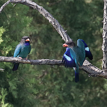 Dollarbirds