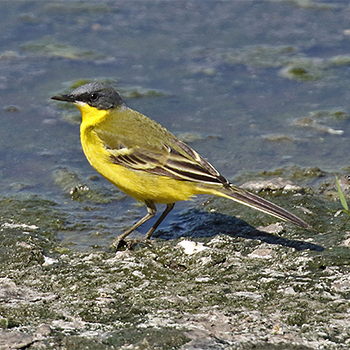 Eastern Yellow Wagtail (<em>>macronyx</em>