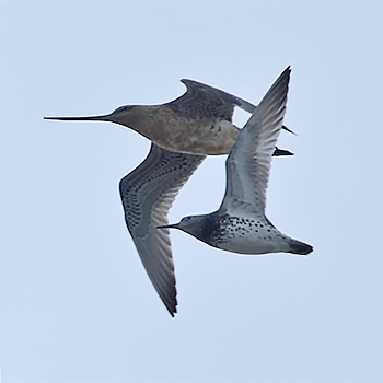 Great Knot and Bar-tailed Godwit
