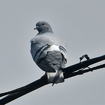 Hill Pigeon
