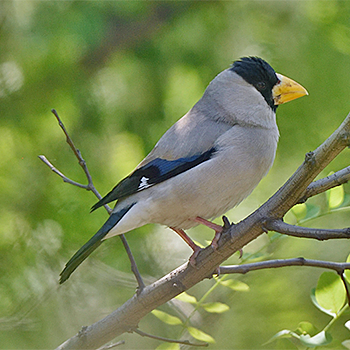 Japanese Grosbeak