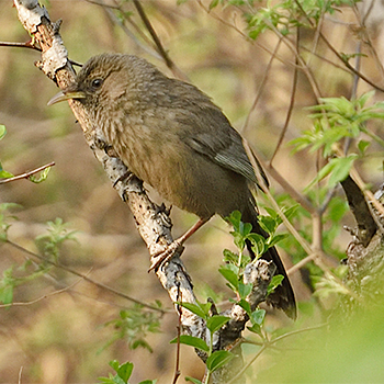 Pere David's Laughingthrush
