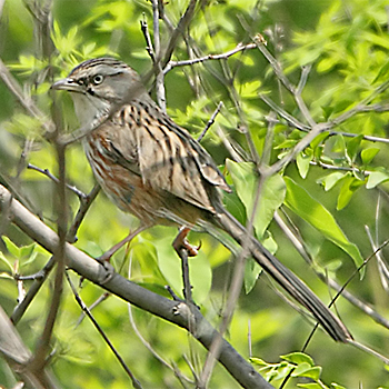 White-browed Chinese Warbler