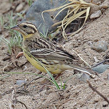 Yellow-breasted Bunting