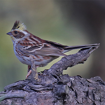 Yellow-throated Bunting