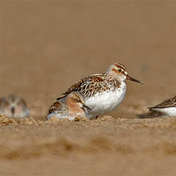 Broad-billed Sandpiper and Red-necked Stint