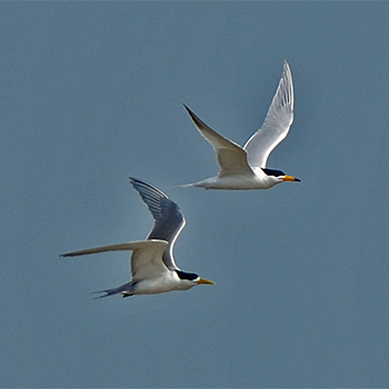 Chinese Crested Tern and Great Crested Tern