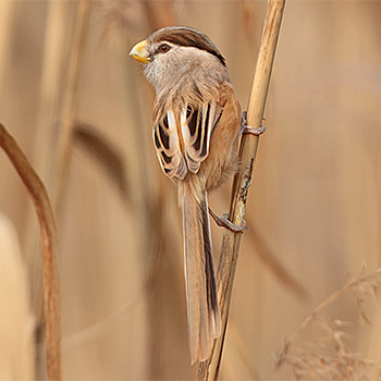 Reed Parrotbill