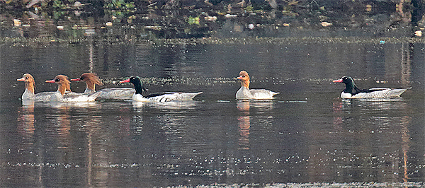 Scaly-sided Mergansers