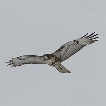 Red-tailed Hawk (juv)