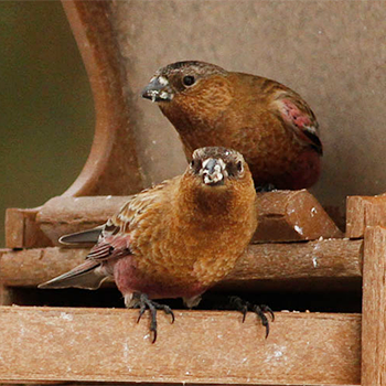 Brown-capped Rosy-finches