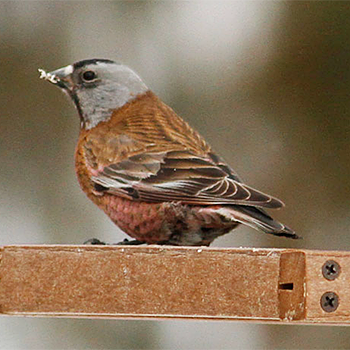 Hepburn's Grey-crowned Rosy-finch
