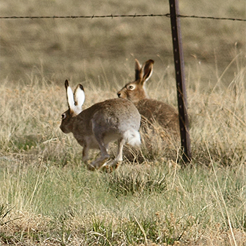 White-tailed Jackrabbits