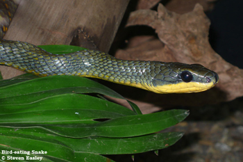 Bird-eating Snake