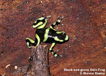 Black-and-green Dart Frog