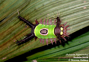 Saddle-back Caterpillar