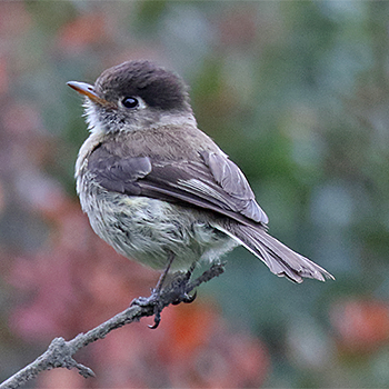 Black-capped Flycatcher