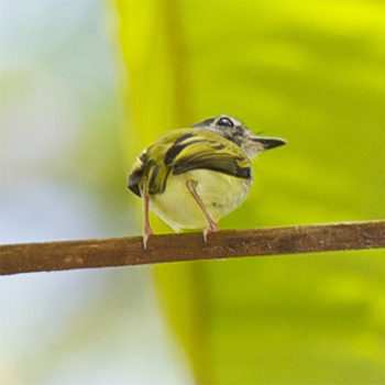 Black-capped Pygmy-tyrant