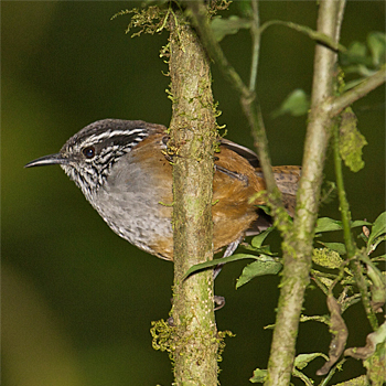 Grey-breasted Wood-wren