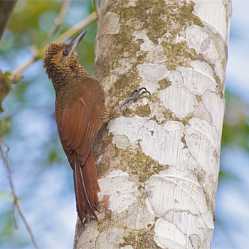 Northern Barred-woodcreeper