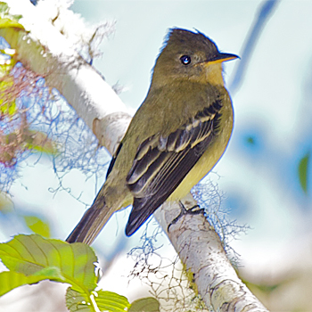Ochraceous Pewee