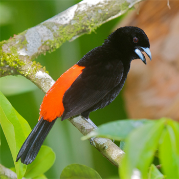 Scarlet-rumped (Passerini's) Tanager