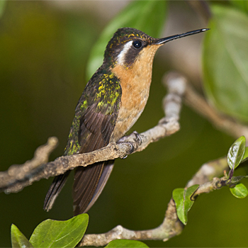 Purple-throated Mountain-gem (female)