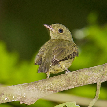 Red-capped Manakin (female)