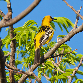 Streak-backed Oriole
