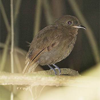 Thrush-like Schiffornis