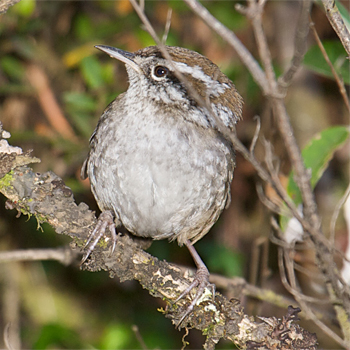 Timberline Wren