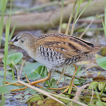 Yellow-breasted Crake