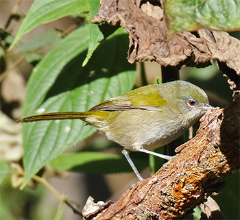 Green-tailed Warbler