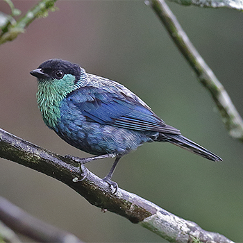 Black-capped Tanager