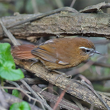 White-browed Spinetail