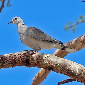 African Collared-dove