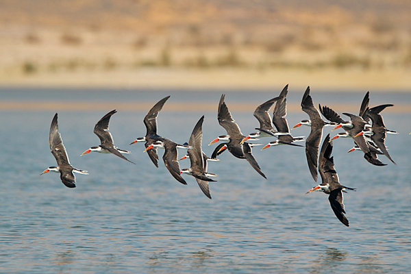 African Skimmers
