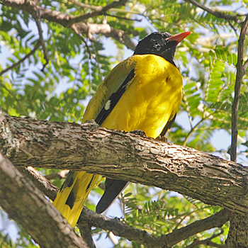 Ethiopean Black-headed Oriole